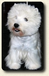 der West Highland White Terrier - Westie (Cesar)